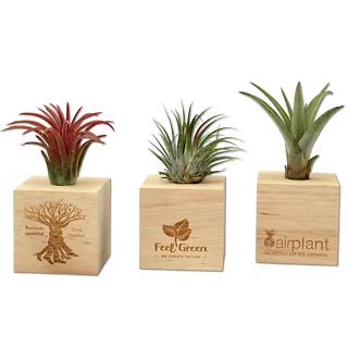 AirPlant • Piante aeree (Tillandsia) in box personalizzato